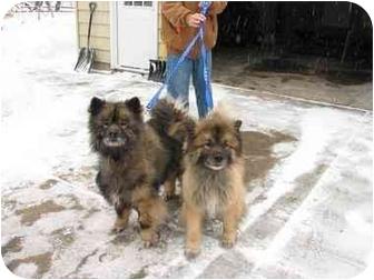 Keeshond Dog for adoption in Urbana, Illinois - Coco and Buddy