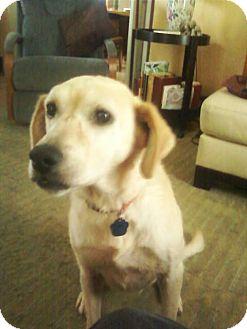 Golden Retriever/Labrador Retriever Mix Dog for adoption in Carey, Ohio - DAISY