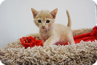 Domestic Shorthair Kitten for adoption in Houston, Texas - Remy