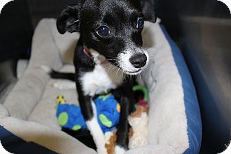 Chihuahua Mix Dog for adoption in Waldorf, Maryland - Roxy