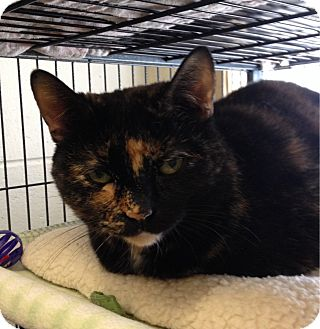 Calico Cat for adoption in South Haven, Michigan - Calie