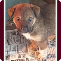 Adopt A Pet :: Robin Williams - Plano, TX