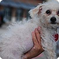 Adopt A Pet :: DeeDee - New Milford, CT