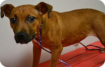Shepherd (Unknown Type) Mix Puppy for adoption in Fruit Heights, Utah - Roxy