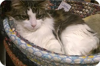 Domestic Mediumhair Cat for adoption in Hillside, Illinois - Mickey