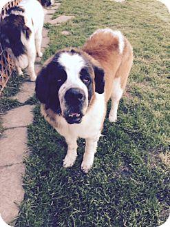 St. Bernard Dog for adoption in McKinney, Texas - Ruby