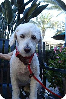 Poodle (Miniature)/Lhasa Apso Mix Dog for adoption in Long Beach, California - Dixie