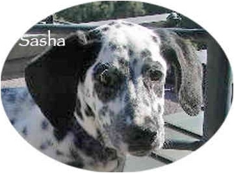Dalmatian Puppy for adoption in Mandeville Canyon, California - Smokey