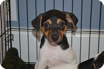 Rat Terrier Mix Puppy for adoption in Lawrenceville, Georgia - Rabun