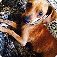 Adopt A Pet :: Goliath - Sacramento, CA