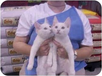 British Shorthair Cat for adoption in LosAngeles, California - Chris & Cross