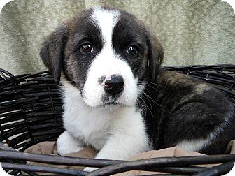 Great Pyrenees/Boxer Mix Puppy for adoption in Cincinnati, Ohio - Samoa
