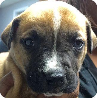 Labrador Retriever/Hound (Unknown Type) Mix Puppy for adoption in Atlanta, Georgia - Harrison
