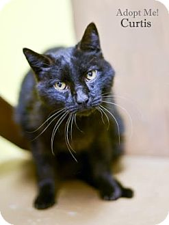 Domestic Shorthair Cat for adoption in West Des Moines, Iowa - Curtis