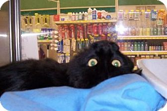 Domestic Mediumhair Cat for adoption in Island Heights, New Jersey - Ebony