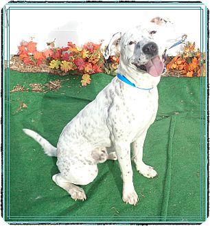 American Bulldog/Dalmatian Mix Dog for adoption in Marietta, Georgia - ROCCO
