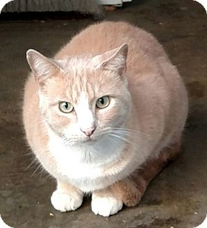 Domestic Shorthair Cat for adoption in Yuba City, California - Red