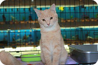 Domestic Mediumhair Kitten for adoption in Rochester, Minnesota - Scrunch