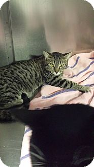 Domestic Shorthair Cat for adoption in Westminster, California - Utah