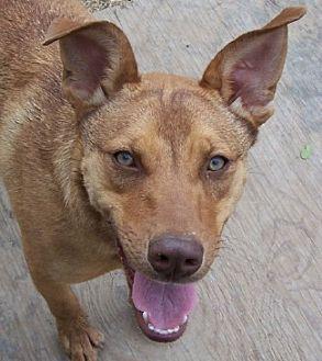 Shepherd (Unknown Type)/Labrador Retriever Mix Dog for adoption in Conway, Arkansas - Tater