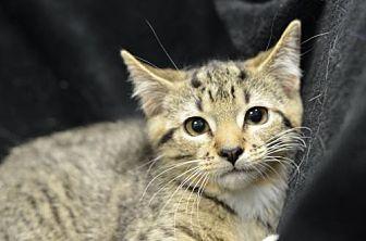 Domestic Shorthair Kitten for adoption in Atlanta, Georgia - Cassidy171039