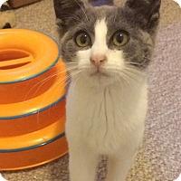 Adopt A Pet :: Lace - East Brunswick, NJ