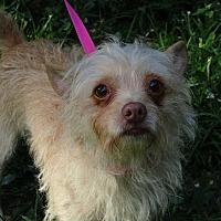 Adopt A Pet :: Ziva - Brattleboro, VT