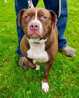 American Pit Bull Terrier Mix Dog for adoption in Salem, Ohio - Bonnie (and Clyde)