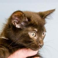 Domestic Shorthair/Domestic Shorthair Mix Cat for adoption in Elk Grove Village, Illinois - Cassiopeia