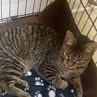 Adopt A Pet :: taylor kit - Muskegon, MI
