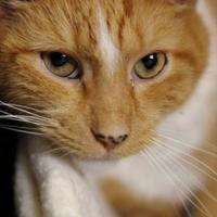 Domestic Shorthair/Domestic Shorthair Mix Cat for adoption in Huntingdon, Pennsylvania - Ziggy