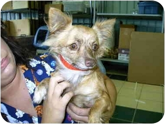 Chihuahua Mix Dog for adoption in Baltimore, Maryland - Reeses