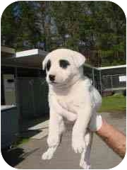 Labrador Retriever/American Bulldog Mix Puppy for adoption in Hammonton, New Jersey - Lucy