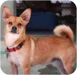 Chihuahua/Pomeranian Mix Dog for adoption in Berkeley, California - Cayenne