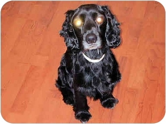 Cocker Spaniel Dog for adoption in Mahwah, New Jersey - Snickers
