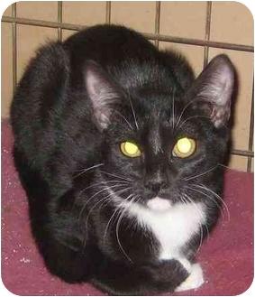 Domestic Shorthair Kitten for adoption in Tillamook, Oregon - Hidey