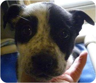 Border Collie Mix Puppy for adoption in Grants Pass, Oregon - Hula
