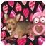 Photo 2 - Yorkie, Yorkshire Terrier/Pomeranian Mix Puppy for adoption in Wauseon, Ohio - Destiny