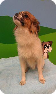 Cavalier King Charles Spaniel/Pekingese Mix Dog for adoption in New Windsor, New York - COCO