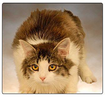 Domestic Longhair Cat for adoption in Newland, North Carolina - Montana