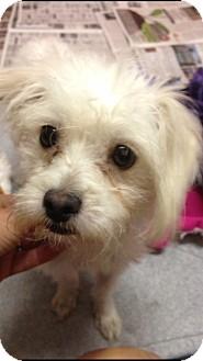 Maltese Mix Dog for adoption in El Segundo, California - Saki