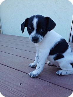 Cavalier King Charles Spaniel/Dachshund Mix Puppy for adoption in Encinitas, California - Molly Moo