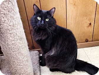 Domestic Longhair Cat for adoption in Mission Viejo, California - Spencer