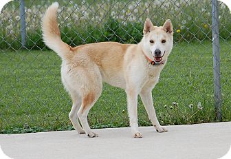 Husky Mix Dog for adoption in Bucyrus, Ohio - Silky Lilly