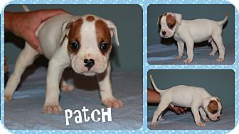 English Bulldog/Boxer Mix Puppy for adoption in DOVER, Ohio - Patch