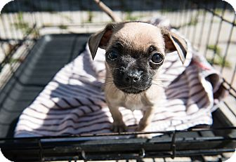 Chihuahua Mix Puppy for adoption in Wethersfield, Connecticut - Dobby