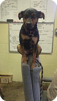 Manchester Terrier Dog for adoption in Cadiz, Ohio - MINNIE