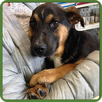 German Shepherd Dog/Beagle Mix Puppy for adoption in Hagerstown, Maryland - ELVIS