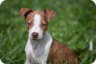 American Bulldog/Terrier (Unknown Type, Medium) Mix Puppy for adoption in Miami, Florida - Ginnie