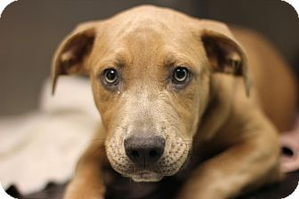 American Pit Bull Terrier Mix Puppy for adoption in Midland, Michigan - Nasario